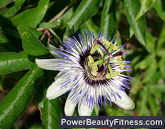 The Best Dose Of Passionflower To Treat Anxiety