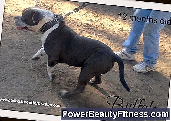 Physical Characteristics Of Pitbull Puppies