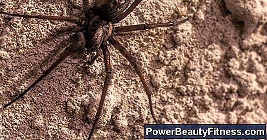 Signs And Symptoms Of The Lonely Brown Spider